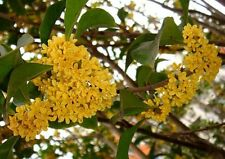 Shrubs Flower tree seeds - Sweet osmanthus Sweet Olive Osmanthus fragran