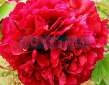 50 Rare China's Polyphyll Red Peony Seeds Paeonia Suffruticosa Flower Tree Plant