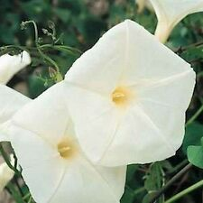 Morning Glory- Pearly Gates- 50 Seeds