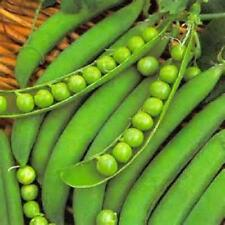 1/4 lb Lincoln  pea seeds  Non-Gmo Heirloom seeds     new seed for 2017