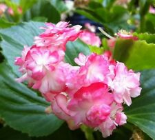 "DOUBLE BEGONIA - CHERRY BLOSSOM LIVE PLANT - 3"" size pot - 2 PLANTS - GREEN LEAF"