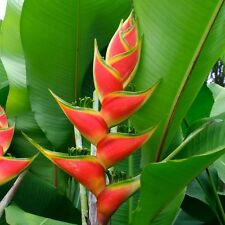 Heliconia Wagneriana * Rainbow Plant * Spectacular * Amazing Colors * RARE Seeds