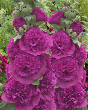 Alcea Rosea Seeds - CHATER'S PURPLE -  Hollyhock - Double Blooms - 25 Seeds