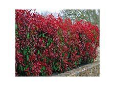 10 Photinia Red Robin Hedging Plants 20-30cm Bushy Hedge Shrubs