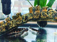 Kuhli Loach - Coolie Loach - Freshwater Tropical Fish