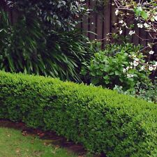 100 x Medium Box Hedging Plants for sale. Height: 20cm Buxus Sempervirens