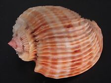 Very Rare...HARPA COSTATA~42.7mm~Mauritius SEASHELL