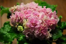LE - USI PUSI, African Violet Starter Plant, Ukrainian/Russian, FRILLY BLOOMS!!!