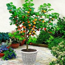 2 X fruit TREES;A plum tree + an Apple tree-not dwarf but stay small when potted