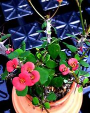 EUPHORBIA MILII IMPERATAE (DWARF CROWN OF THORNS) RED FORM - 4 INCH PLANT