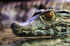 Framed Print - Cuvier's Dwarf Caiman Crocodile (Picture Reptile Alligator Art)