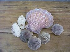 7 Real Seashells Sea Shells Ocean Clam A Decorative
