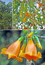 10 Graines Radermachera hainanensis , Golden Tree Jasmine Rare seeds