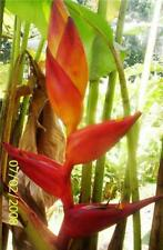 HELICONIA MAYA BLOOD  LIVE TROPICAL RHIZOME EXOTIC PLANT