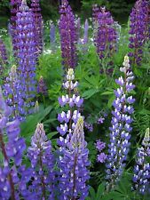 100+ Wild Blue Lupine Flower Seeds-  Perennial Wildflower- Purple & Pink Flowers