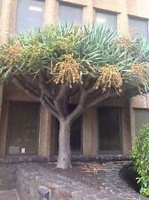 Dracaena draco, seeds dragon blood  Canary Islands dragon tree 100 Febuary 2017