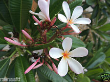 Singapore Pygmy Pink Plumeria-True Dwarf -Spicy Fragrance! 1 tip cutting
