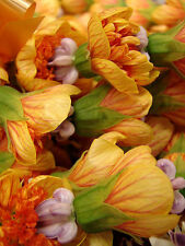 30 FLOWERING MAPLE TREE SHRUB Chinese Bell Flower Seeds