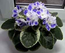 African Violet RS-Kapitoshka Russian variety plant