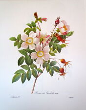 P.J. Redoute 130  Rose Rosier Candotte vintage print