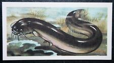 WELS   CATFISH  Freshwater Fish  Vintage Illustrated Card    VGC