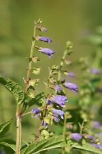 Scutellaria laterifolia - Mad Dog Skullcap - 200 Seeds
