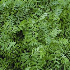 Green Manure Seeds - Winter Tares / Vetch - 2.5kg