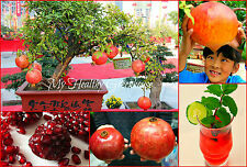 "SEEDS – Stunning Upright GIANT Dwarf Pomegranate ""Dwarf Ambrosia"" Tree Variety"