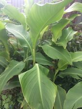 Queensland Arrowroot - Edible Canna (Canna Edulis) 3 bulbs