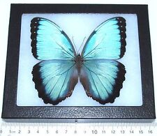 REAL FRAMED BUTTERFLY BLUE MORPHO PELEIDES
