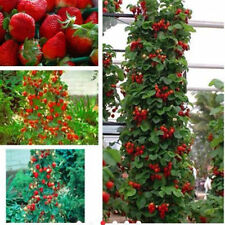 100pcs New Rare Red Strawberry Climbing Strawberry Fruit Plant Seeds Home Garden