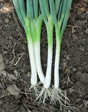 ONION, TOKYO LONG WHITE,  HEIRLOOM, ORGANIC 25+ SEEDS, GREAT IN SALADS& COOKING