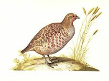 "1977 VINTAGE LAROUSSE ""GREY PARTRIDGE"" LOVELY COLOR Art Print Lithograph"
