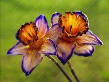 True Narcissus (Daffodil Bulbs) Pond Aquatic Plant Bonsai Flower Bulbs - 2pcs