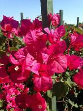 Bougainvillea - 'Oh My My'