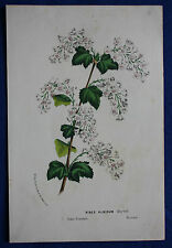 Genuine antique botanical flower print RIBES ALBIDUM van Houtte c.1860