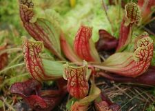 PURPLE PITCHER PLANT * HARDY * Sarrencia purpurea * CARNIVOROUS * SEEDS