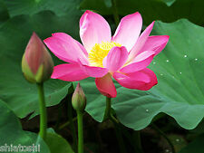 10,Seeds,Sacred lotus ,Nelumbo Seed- Nucifera , Indian National Flower .SF-4998
