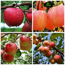 Special 20PCS Bonsai Apple Tree Seeds Garden Yard Outdoor Living Fruit Plant New