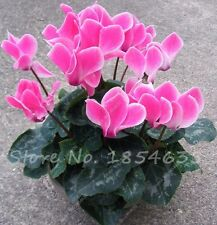 Bonsai MIX Cyclamen Seeds,Balcony Plant Seeds Potted Flowers Seeds