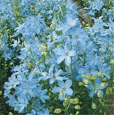 FD1548 1 Bag 30 Seeds Blue Larkspur Seed Delphinium Consolida Flowers Seeds ✿