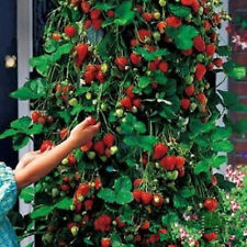 100pcs Red Climbing Strawberry Fruit Plant Seeds Home Garden Heirloom Vegetables