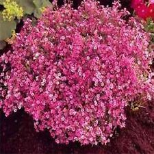 Baby's Breath- (Gypsophila Elegans)- Red- 100 Seeds