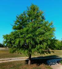 "Bald Cypress Taxodium distichum Healthy Established Rooted 4"" Potted – 3 Plants"