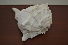 """LEFT HANDED SPINDLE WHELK SEA SHELL IN WHITE 7"""" - 9"""" #S7-444"""