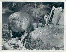 Beaver With His Handiwork A Ewing Galloway  Press Photo