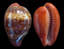 Conchiglia Shell CYPRAEA PYRUM Grecia 40,2 mm TRIFASCIATA FORM # 322