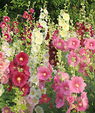 Hollyhock Country Garden Mix  Alcea 35 Seeds Bring Back Memories
