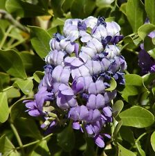 4 graines de SOPHORA SECUNDIFLORA G439 TEXAS MOUNTAIN LAUREL (Mescal Bean)SEEDS