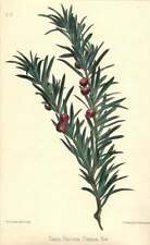 1863 Common Yew  ~ Taxus baccata Botanical Print